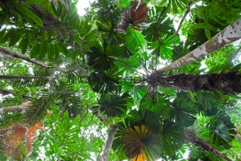 palm tree forest canopy