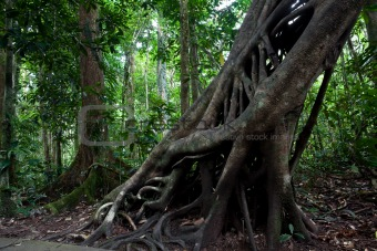 strangler fig tree trunk