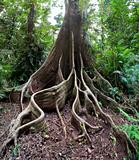 giant rain forest tree