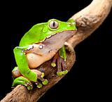 green tree frog amazon rain forest