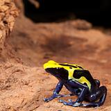 yellow black poison dart frog