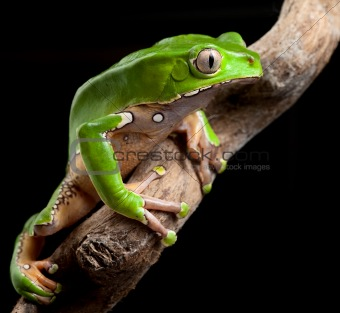 green tree frog amazon rain forest