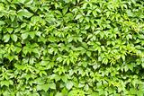 Green vines leaves