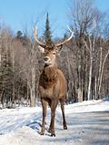 Female red deer in the winter