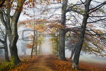 Path with beechtrees in the mist in autumn