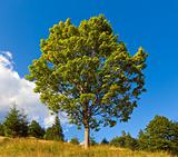 Lonely tree on summer mountain