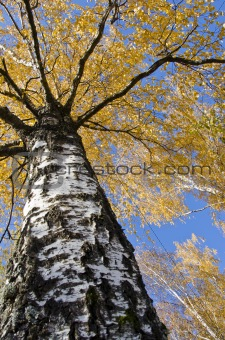 Autumn birch trunk branches and colored leaves.
