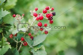 blackberry growth
