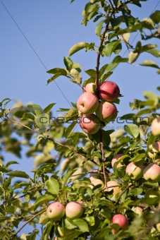 apple on the twig