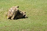African spurred tortoise mating