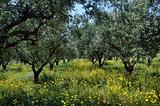 olive trees plantation and wild flowers