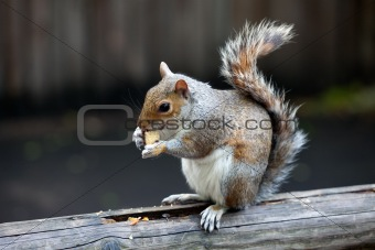 The grey squirrel in one of London parks