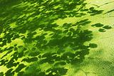 Lesser duckweed and shadows of leaves