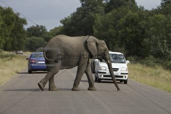 Afircan Elephant
