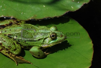 green frog on lily