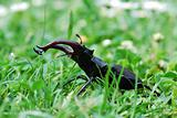 stag beetle in high grass