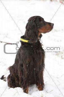 sitting hunting dog