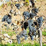 grapevines in vineyard (cabernet moravia), Czech Republic