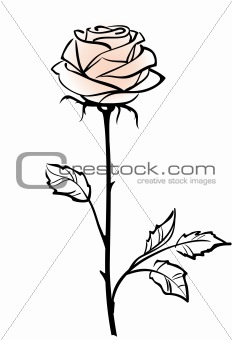 Beautiful single pink rose flower isolated on the white  backgro