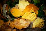 Autumn fallen leaves with rain drops, closeup shot.