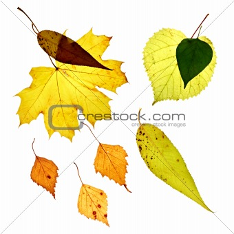 Isolated fallen yellow leaves on white background