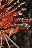 Lionfish profile