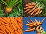 organic carrots collage