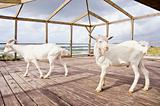 two goats in the sea resort