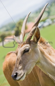 antelope in a zoo
