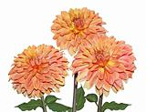 Three Yellow Orange Dahlia