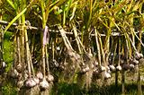 Organic Garlic Drying