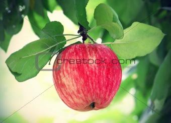bright tasty apple
