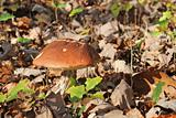 bolete mushroom