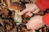 Picking bolete mushroom