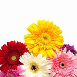 Colorful gerberas isolated on white