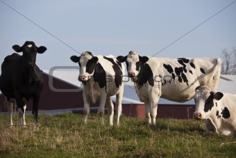 Cow Farm in Wisconsin