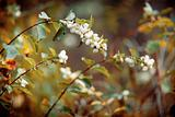 Autumn bush with white berries