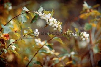 Autumn bush with white berries