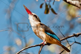 Grey Headed Kingfisher