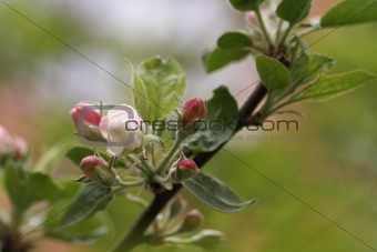 Apple tree in the spring blossoming