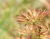 Acer japonicum in the garden