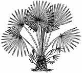 Plant Chamaerops humilis (Mediterranean dwarf Palm)