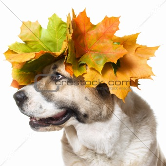 Dog in a maple wreath ,isolated