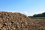 Sugar beets