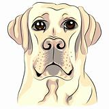 vector color sketch dog breed white labrador retrievers closeup