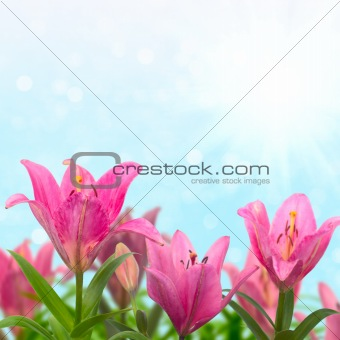 Beautiful meadow with pink lilies in sunny summer day.