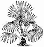Plant Livistona australis (Cabbage-tree Palm)