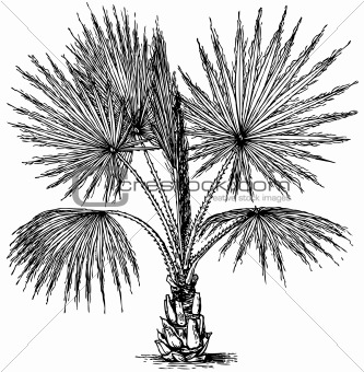 Plant Washingtonia filifera (California Fan Palm)