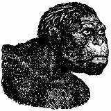 Java Man (Homo erectus)