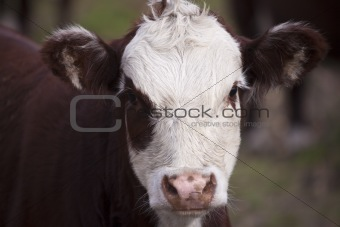Portrait of the cattle